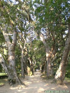 Plantas Ornamentais - árvores